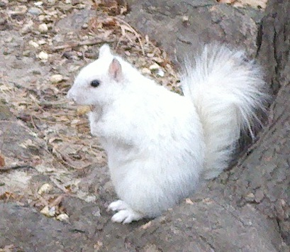 WhiteSquirrel1