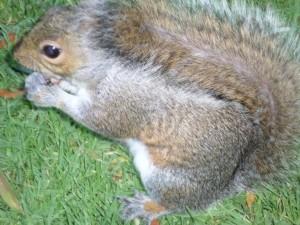 SA Squirrel 1